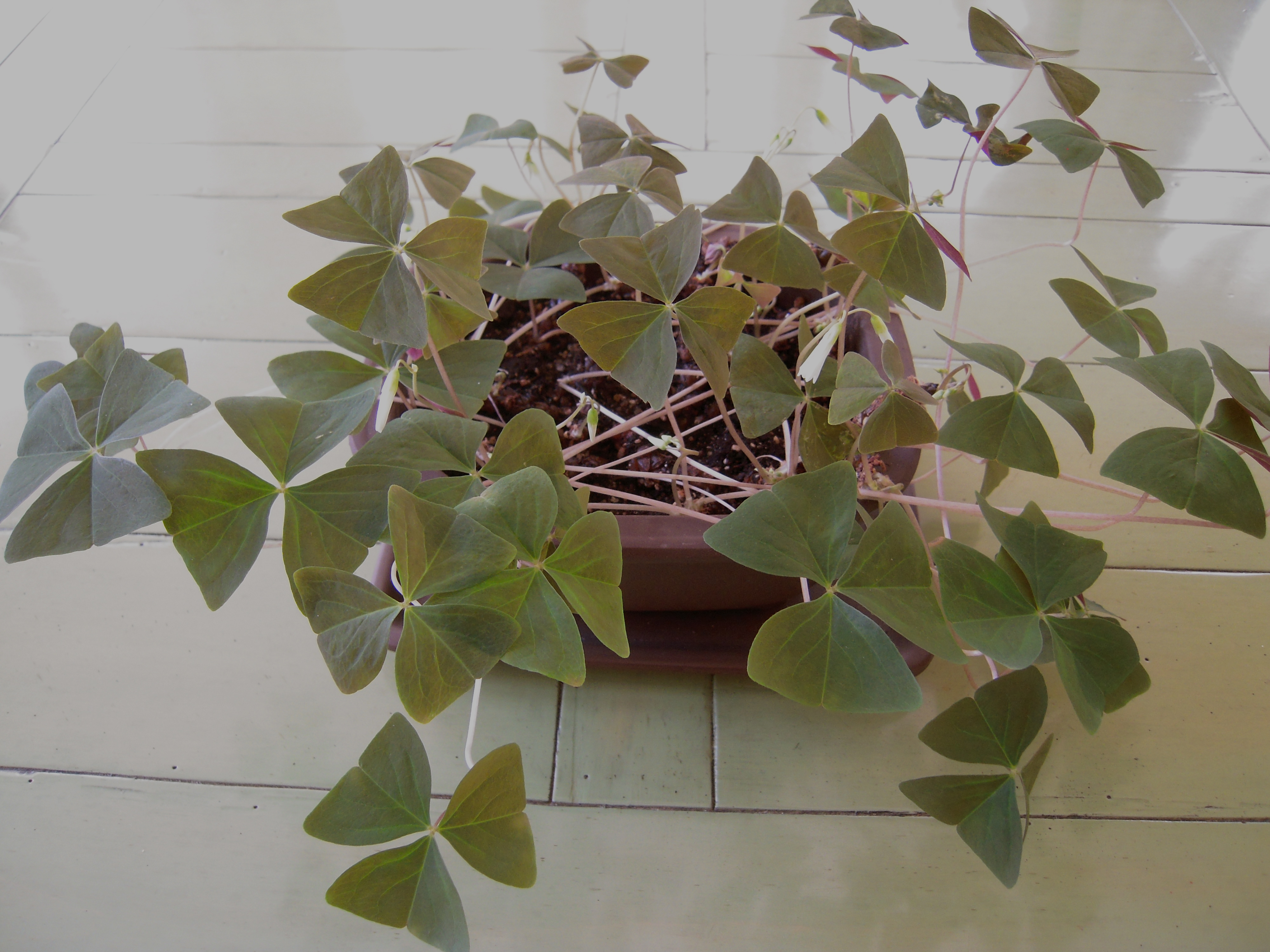 Aging parents and spring s little things that can mean a lot 2013 update help aging parents - Shamrock indoor plant ...