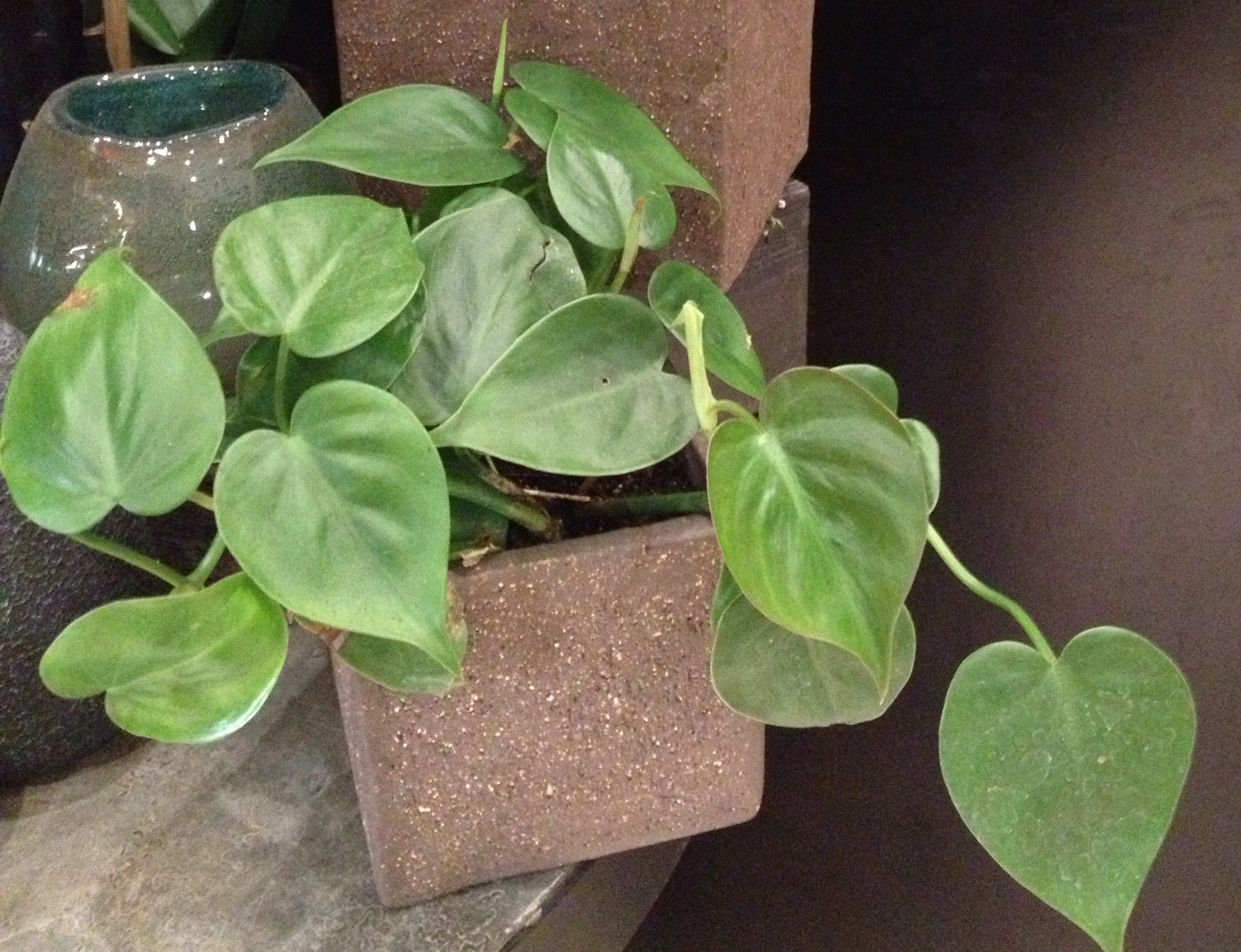 Help aging parents leafy easy care houseplants alive for Easy plants to care for